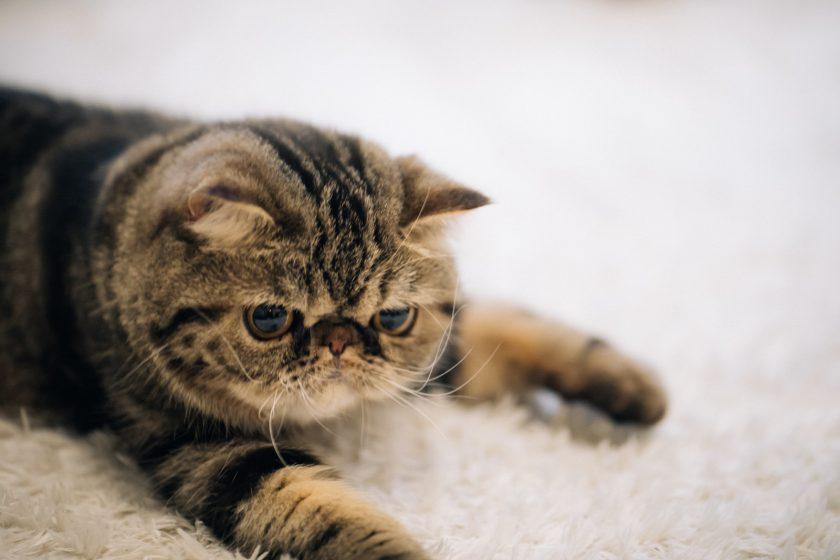 ぐたっとした猫