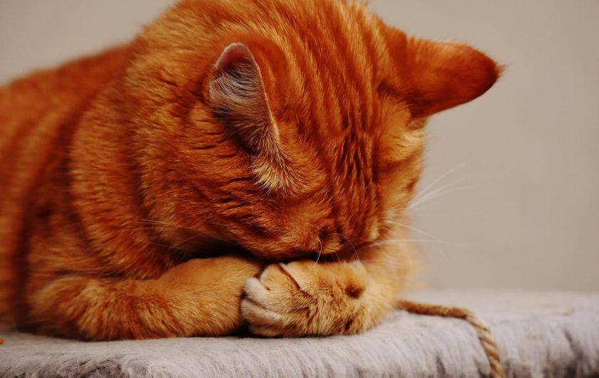 腕に顔をうずめる猫