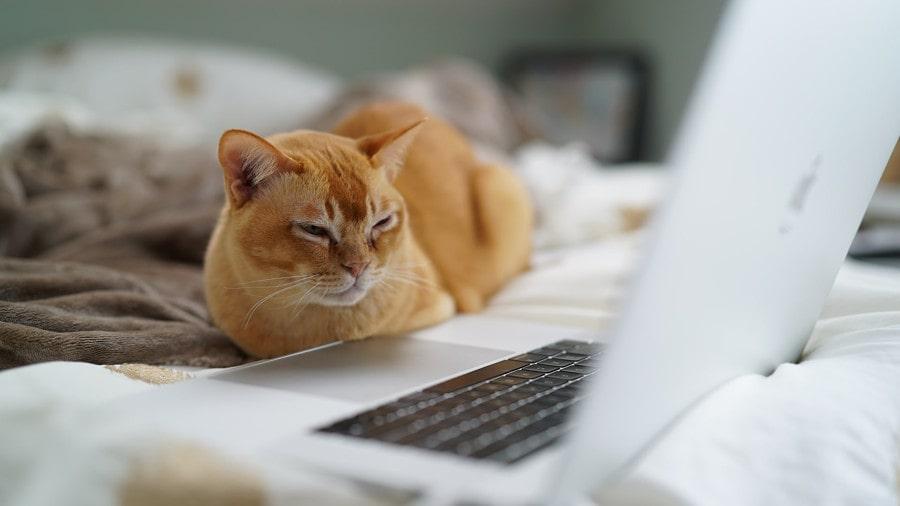 ノートPCを眺める猫